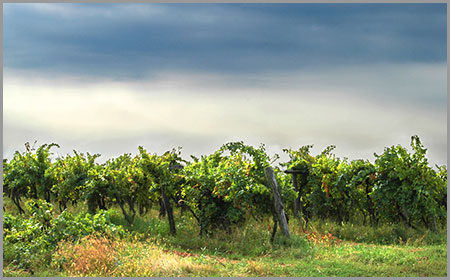 love-wine-vineyard